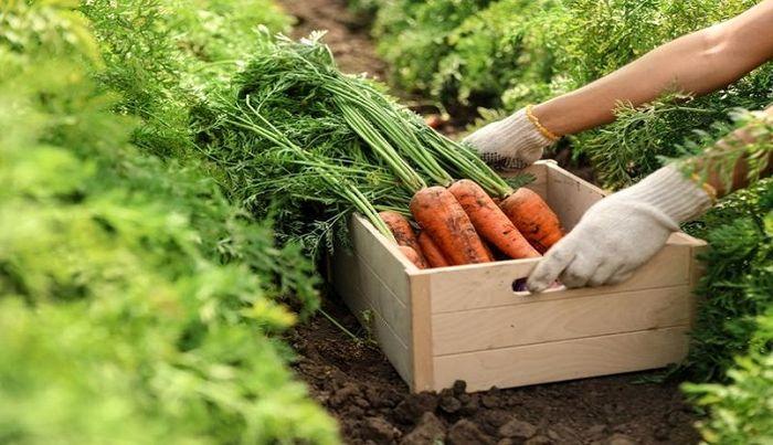 افزایش چشمگیر قیمت هویج در بازار