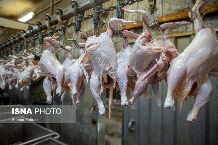 تصاویر/ مرغ با مردم چه کرد!