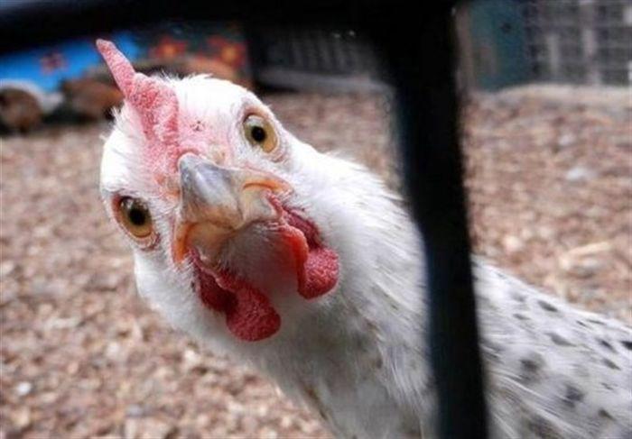 قیمت جدید پیشنهادی خرید یک کیلو مرغ زنده
