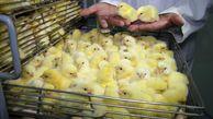 دولت قیمت مرغ و جوجه را اصلاح می کند؟