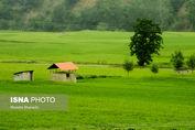 تصاویر/ خواب شالیزارهای مازندران