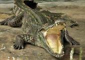 کلیپی دیدنی از حمله سگ های وحشی به تمساح!