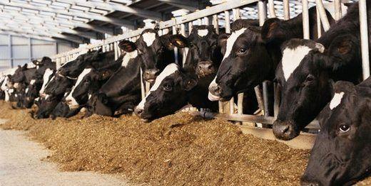 برنامه وزارت جهاد کشاورزی برای تامین خوراک دام از ضایعات نیشکر