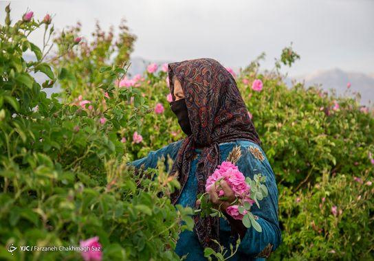 گل-گلاب (11)