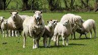 باند گوسفند دزدان منهدم شد!