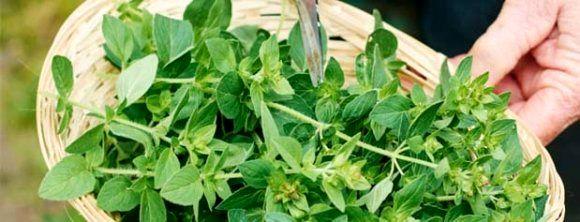 گیاهان مفید برای کنترل فشار خون بالا