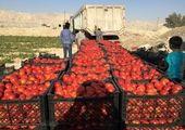 وعده جدید درباره ارزانی گوجه در بازار