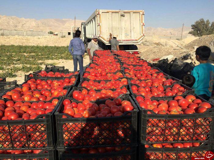 قیمت گوجه فرنگی ۱۴ هزارتومان شد!
