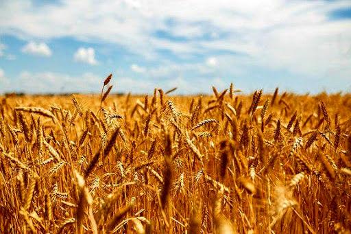 نرخ خرید تضمینی گندم داد کشاورزان را درآورد
