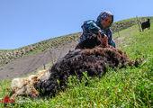 """تصاویر / شستن پشم ها در """"شورینگا"""""""