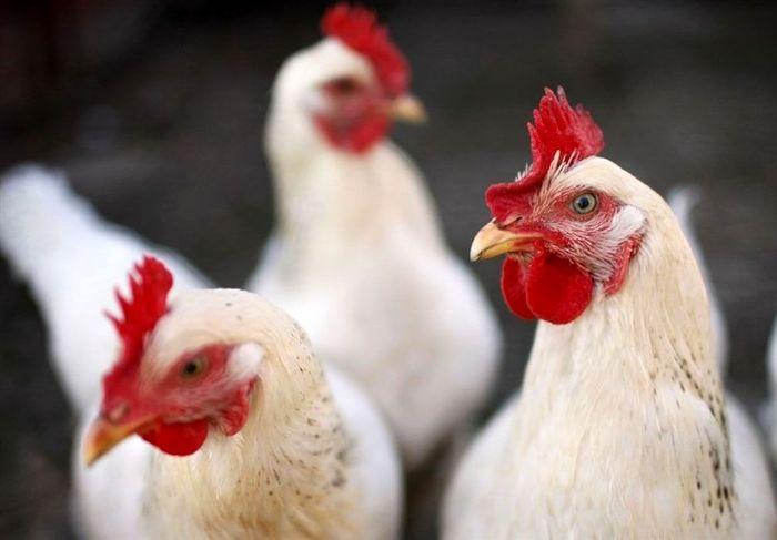 قیمت تمامشده مرغ زنده افزایش یافت
