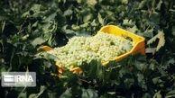 تصاویر / تهیه کشمش در «دره جوزان»