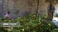 تصاویر / برداشت توتون از مزارع زریوار