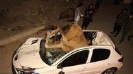 برخورد وحشتناک یک شتر با پژو حادثه آفرید!